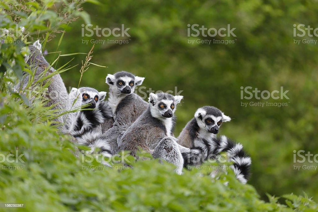 Lemur family royalty-free stock photo
