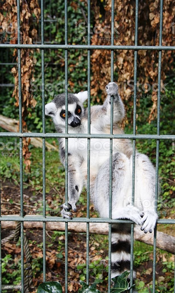 Lemur in cage stock photo
