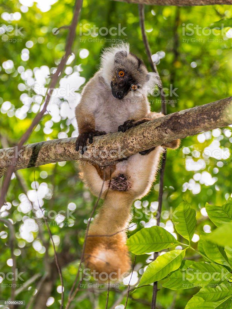 Lemur in Nosy Be, Madagascar stock photo