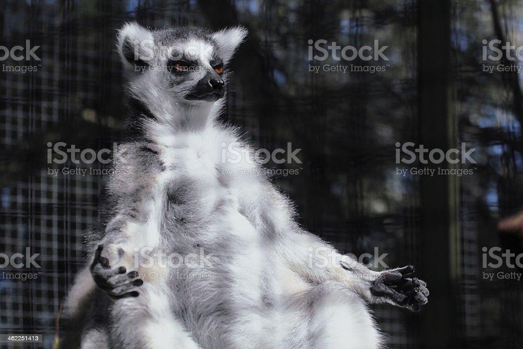 Lemur in yoga position stock photo