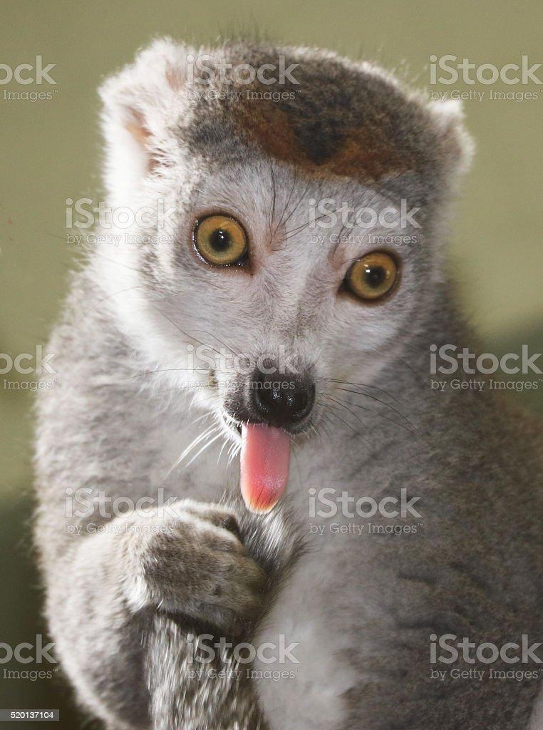 Lemur licks stock photo