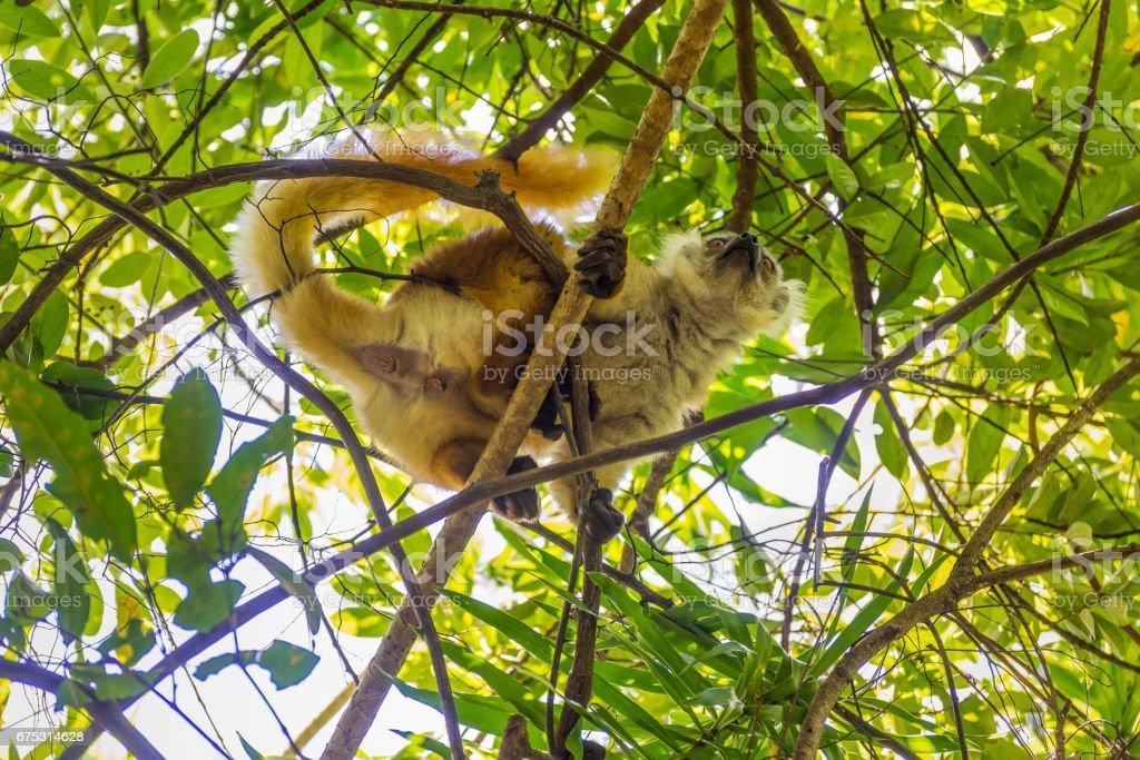 Lemur on Lokobe Strict Reserve in Nosy Be, Madagascar stock photo