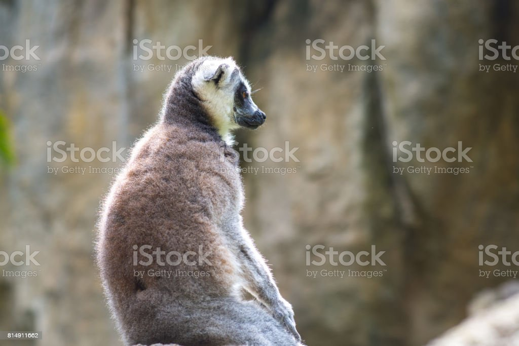 Lemur on nature in a pensive posture in summer stock photo