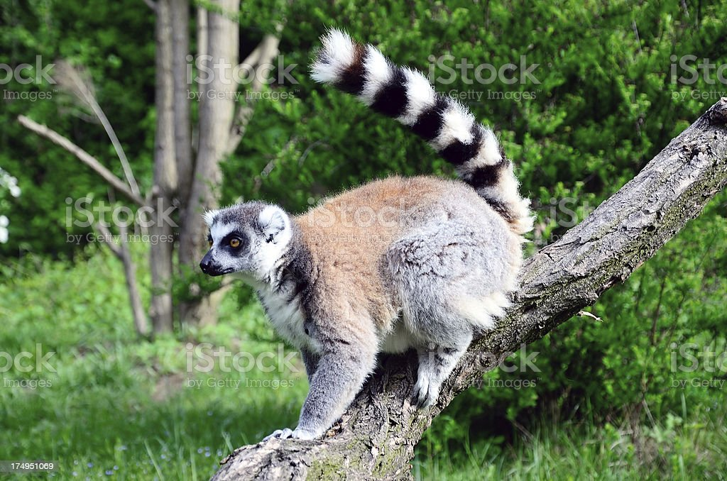 Lemur royalty-free stock photo