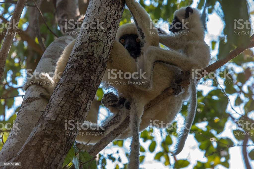 Lemur Sifaka in Tsingy. Madagascar stock photo