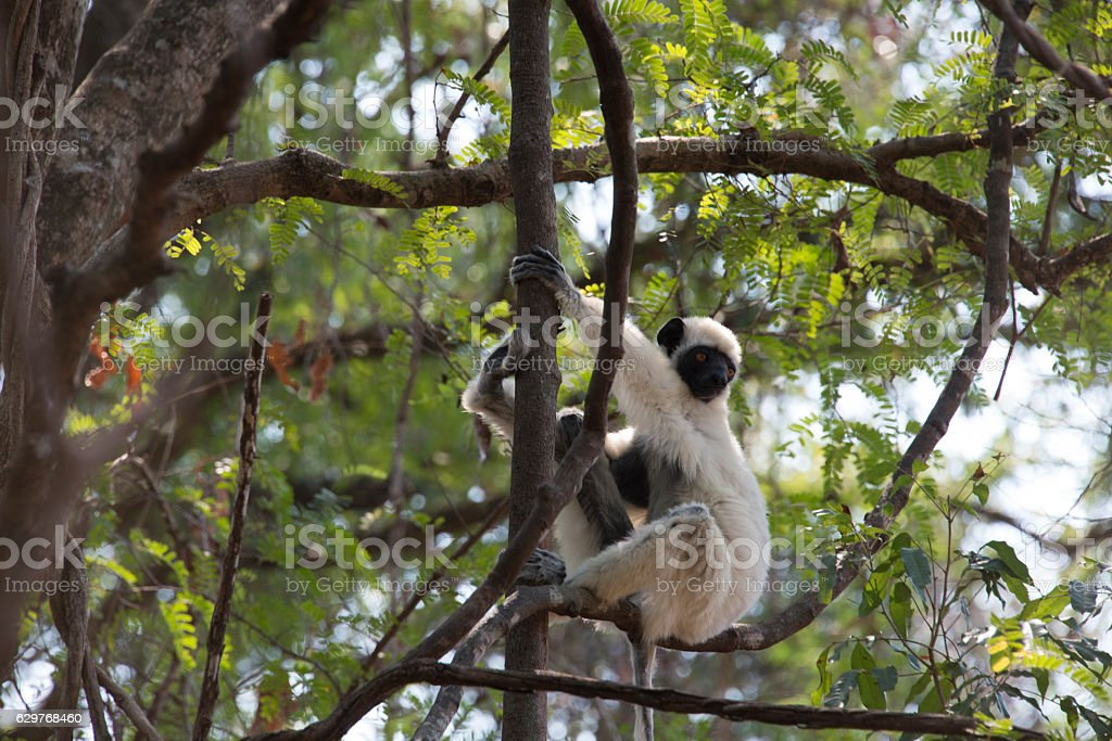Lemur Sifaka. Tsingy. Madagascar stock photo