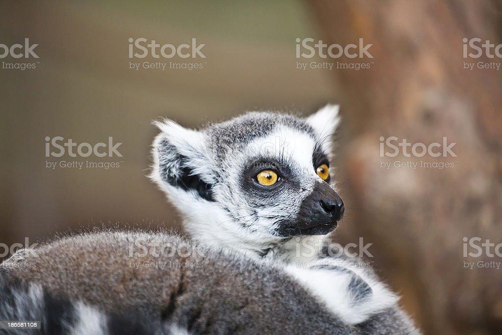 lemur (katta) watching stock photo