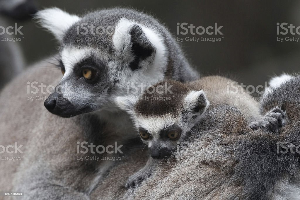 Lemur with Baby royalty-free stock photo