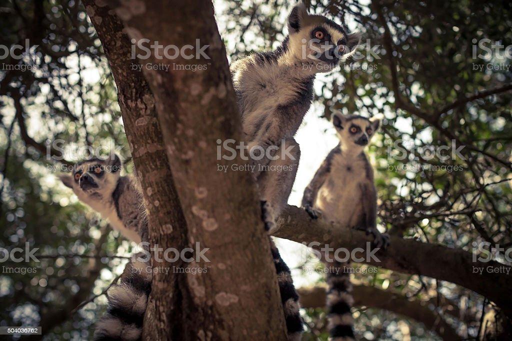 Lemurs on a tree stock photo
