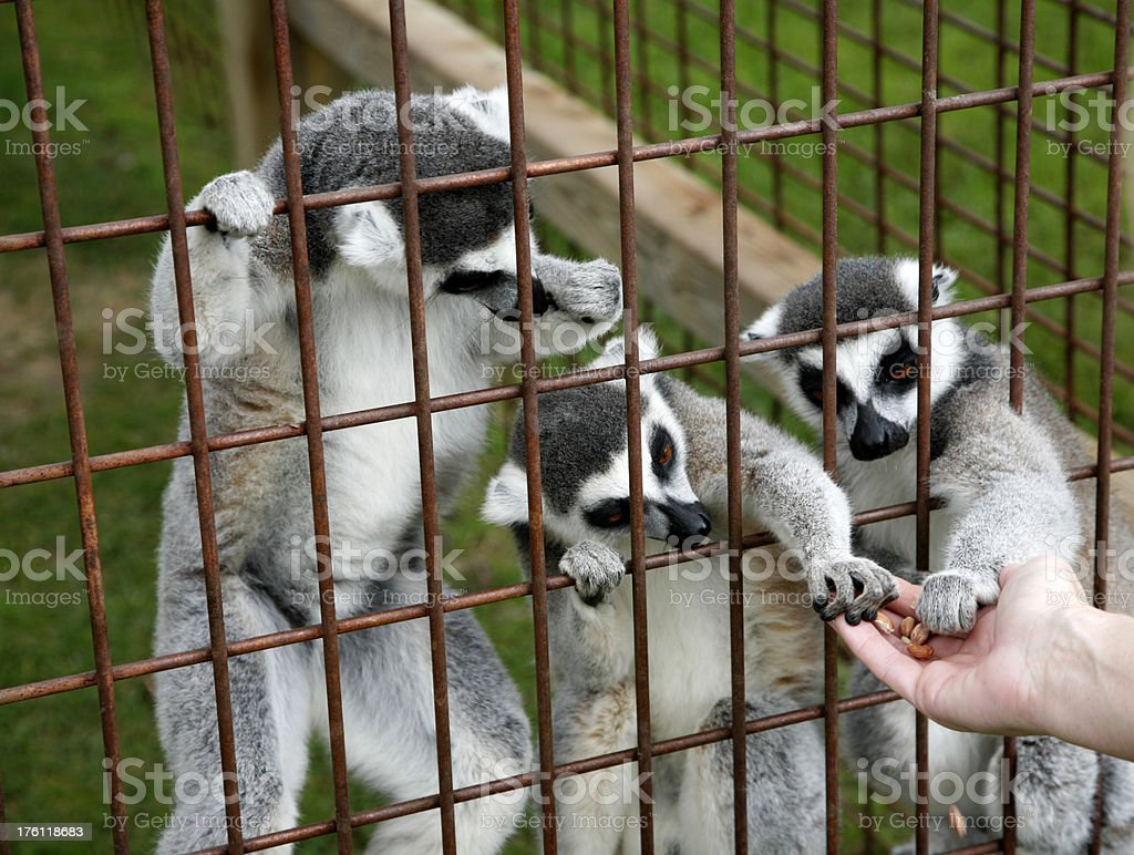 Lemurs royalty-free stock photo