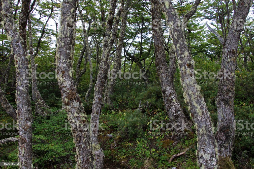 Lenga beech tree forest, Nothofagus Pumilio, Reserva Nacional Laguna Parrillar, Chile stock photo