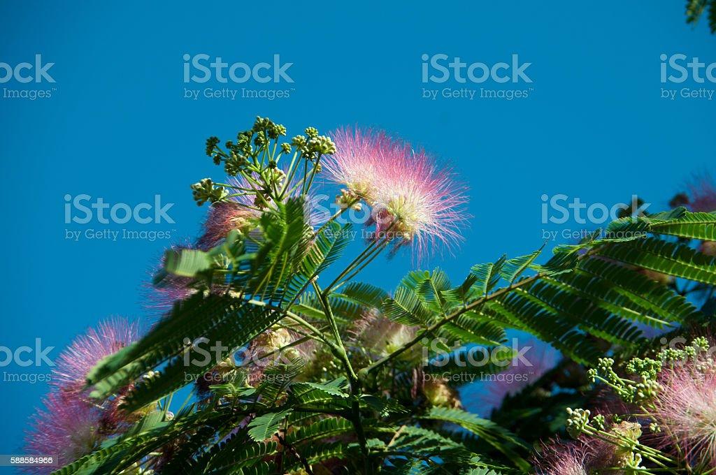 Lenkoran acacia, silk tree, Albitius stock photo
