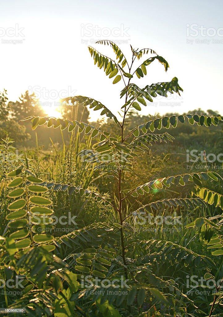 lens flare on the acacia royalty-free stock photo