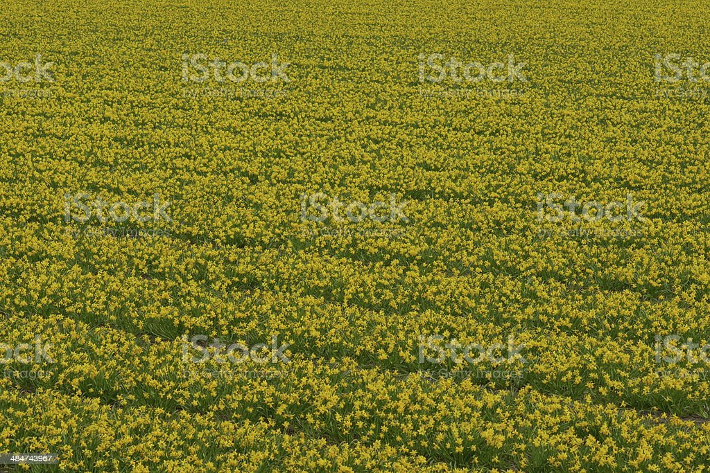 Lent lilly fields in Holland royalty-free stock photo