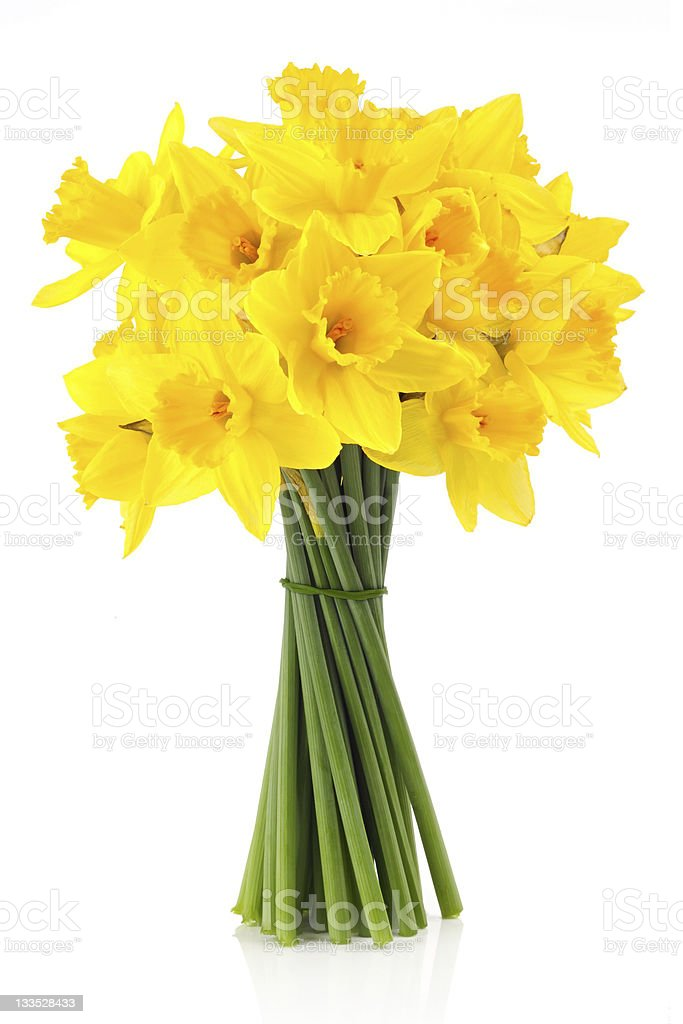 lent lily (daffodil) 2 stock photo
