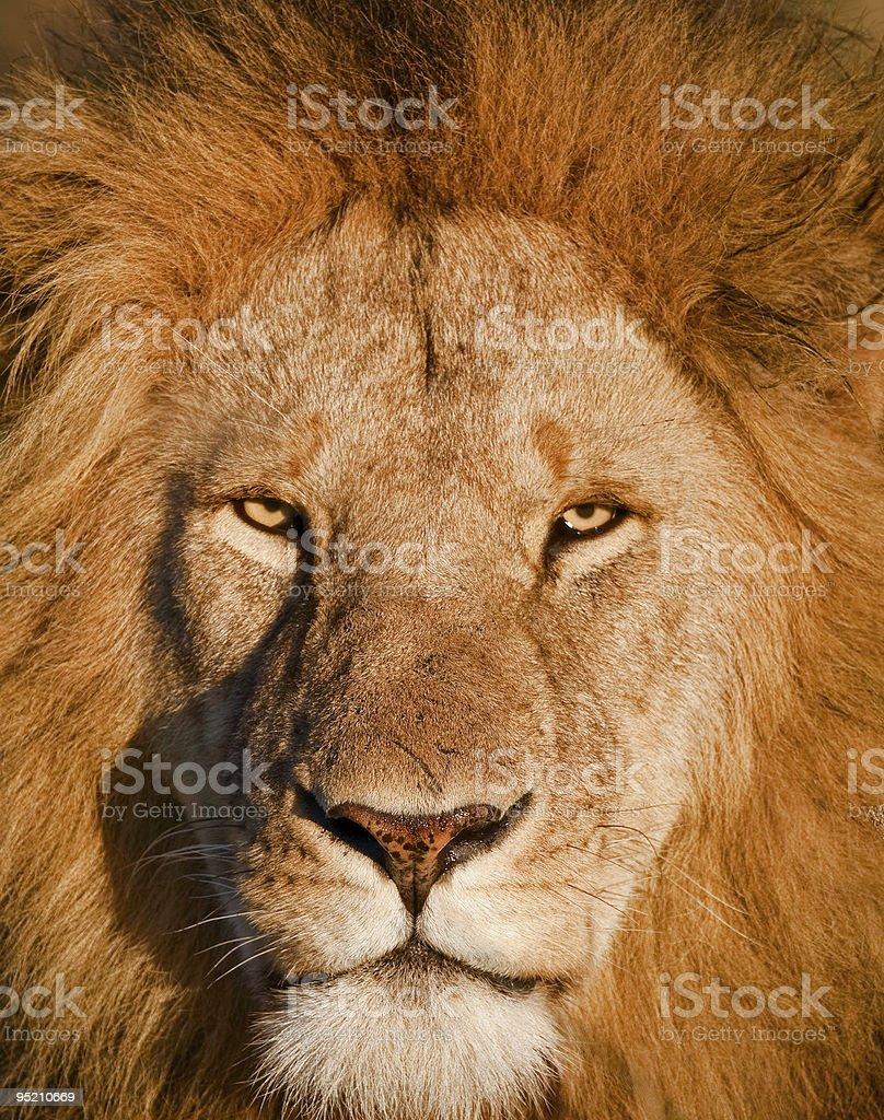 Leo royalty-free stock photo