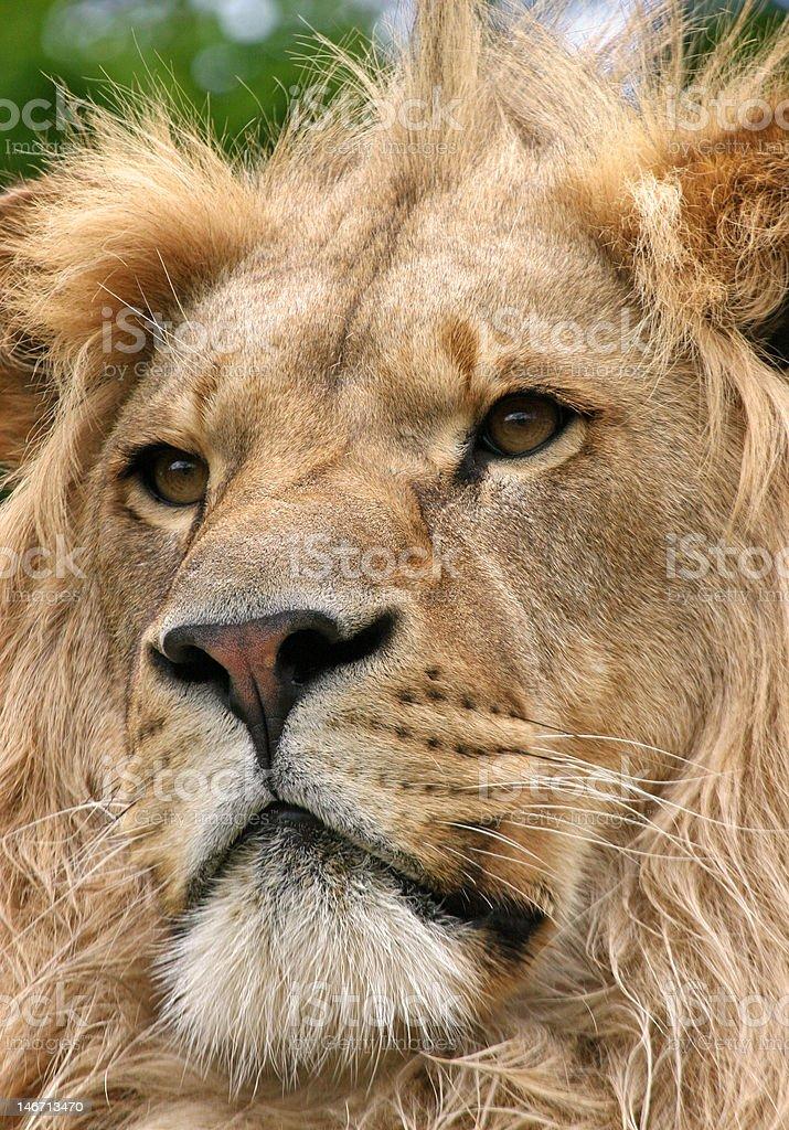 leo the lion royalty-free stock photo