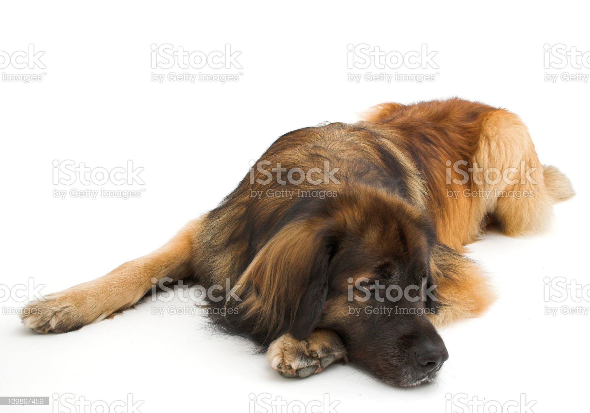 Leonberger royalty-free stock photo