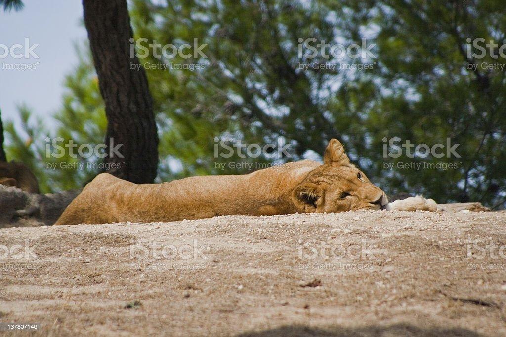 Leone stock photo