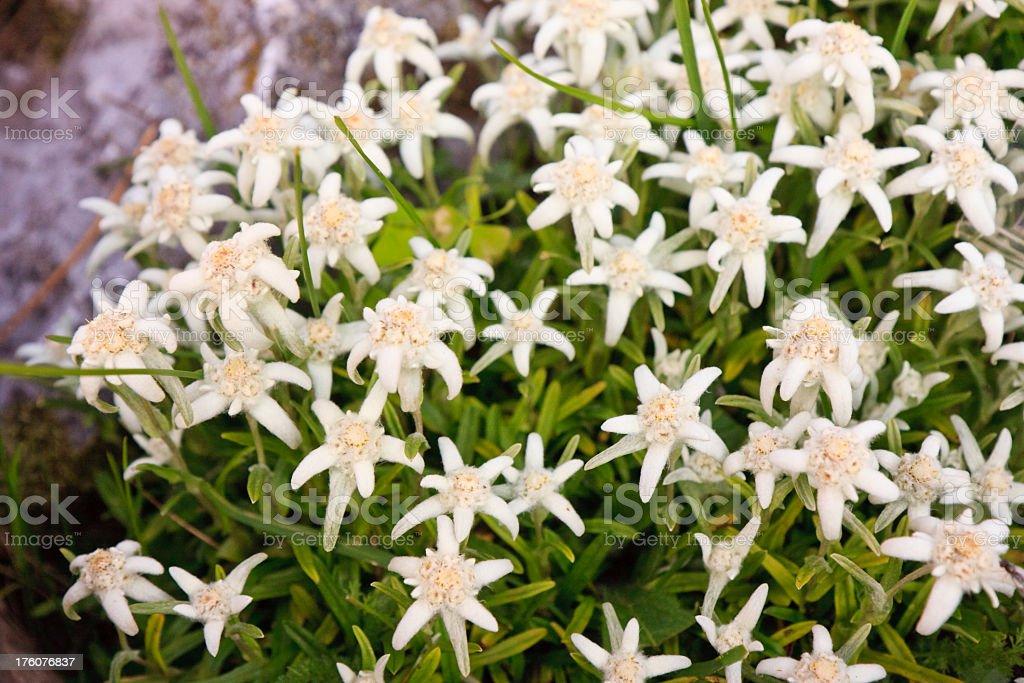 Leontopodium alpinum royalty-free stock photo