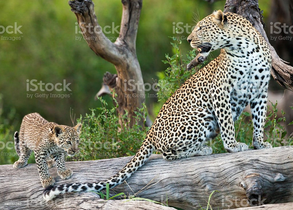 Leopard and cub perched on weathered log, Serengeti National Park stock photo