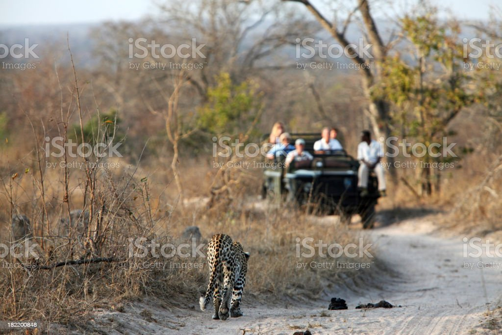 Leopard Approaching A Game Vehicle stock photo