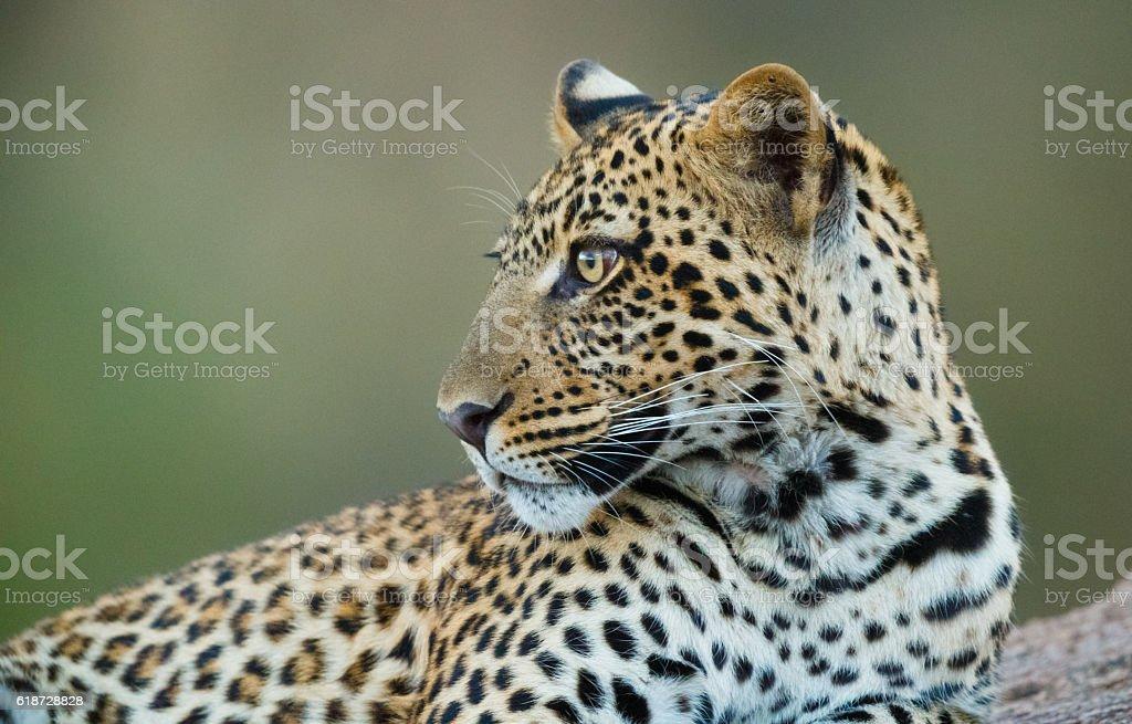 Leopard at Serengeti National Park, Tanzania Africa stock photo