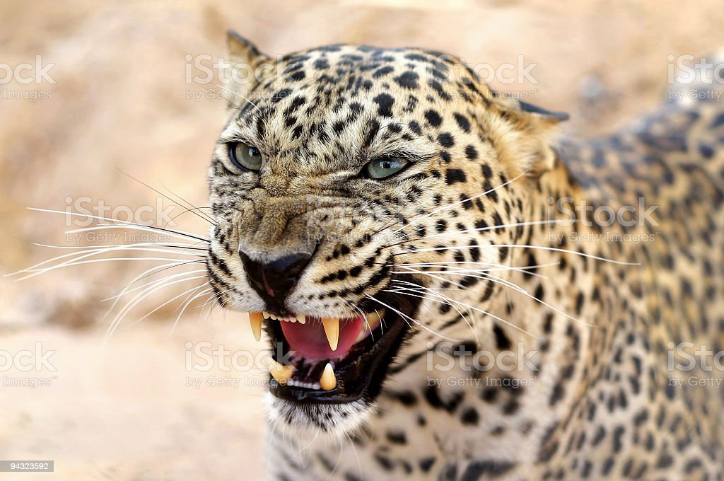 Leopard attacking royalty-free stock photo