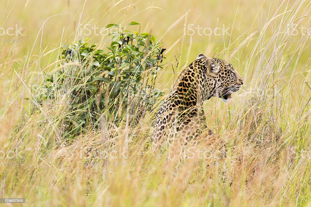 Leopard - camouflage, back side, close up royalty-free stock photo