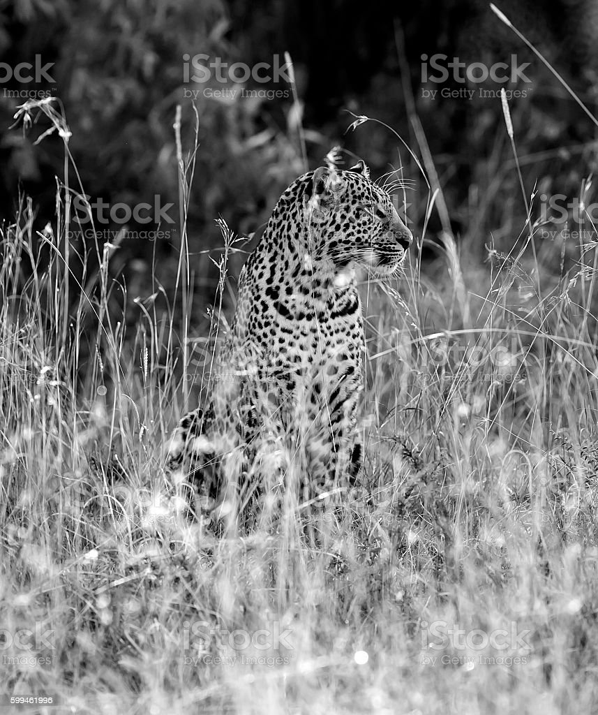 Leopard - camouflage, sitting and watching stock photo