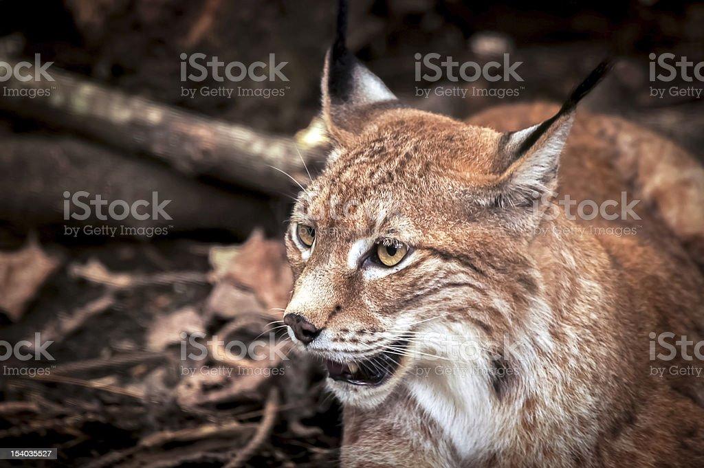 leopard cat royalty-free stock photo
