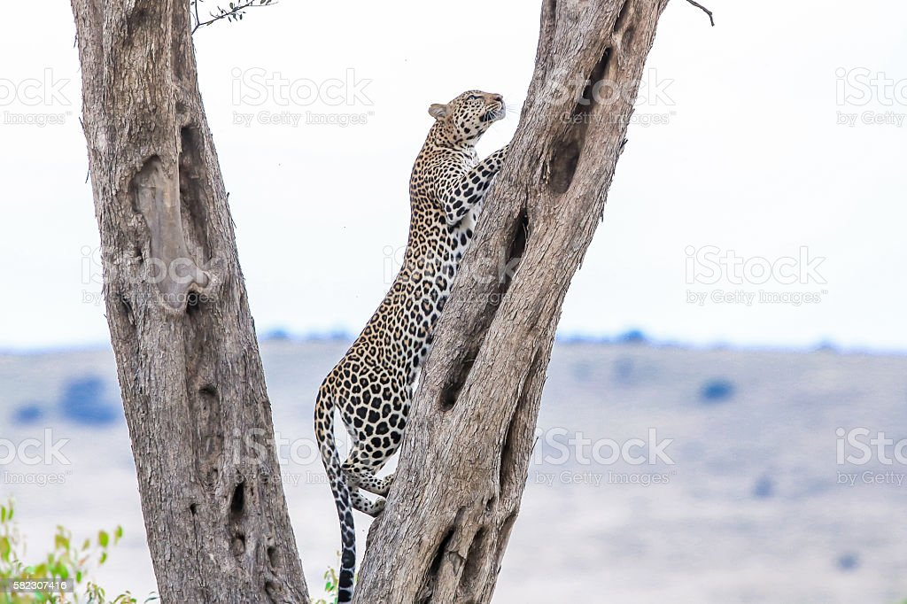 Leopard - climbing tree stock photo