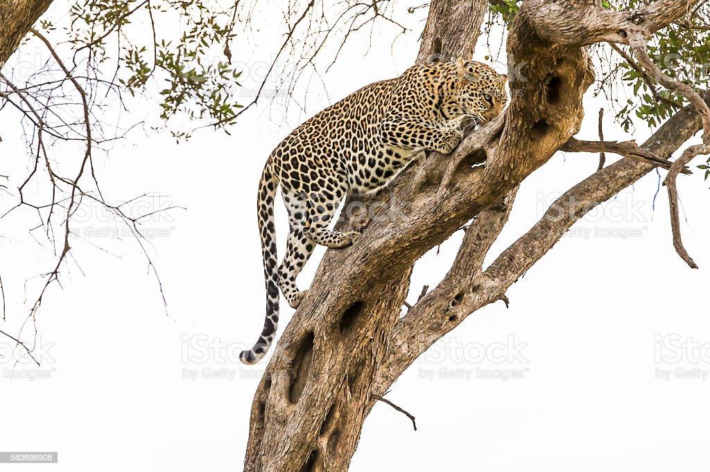 Leopard - climbing tree - ready to hunting stock photo