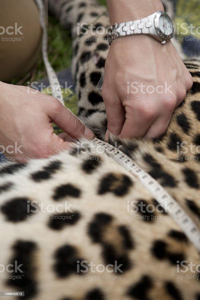 Leopard Conservation stock photo