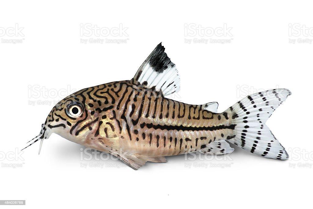 Leopard Cory Corydoras Julii trilineatus catfish freshwater aquarium fish stock photo