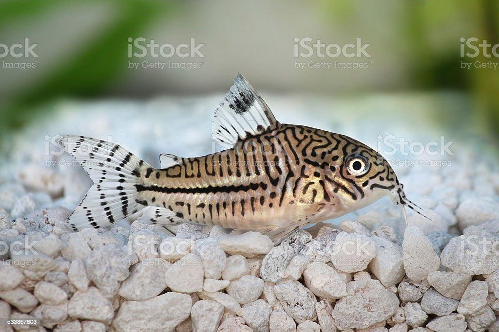 Leopard Cory Corydoras trilineatus catfish aquarium fish stock photo