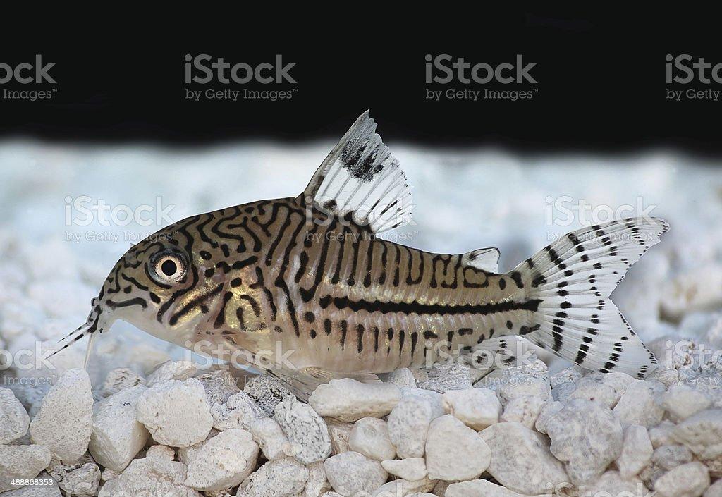 Leopard Cory Corydoras trilineatus catfish stock photo