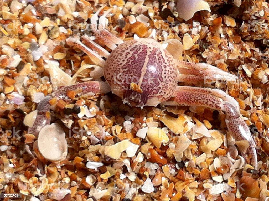 Leopard Crab stock photo