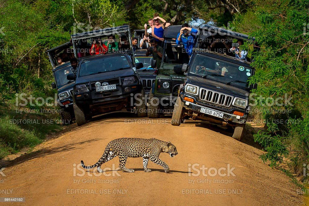 Leopard crossing the road in front of audience. stock photo