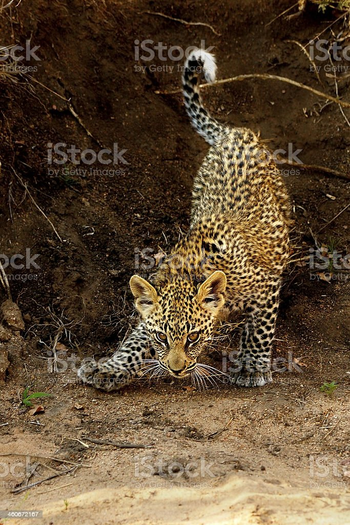 Leopard Cub in Riverbed royalty-free stock photo