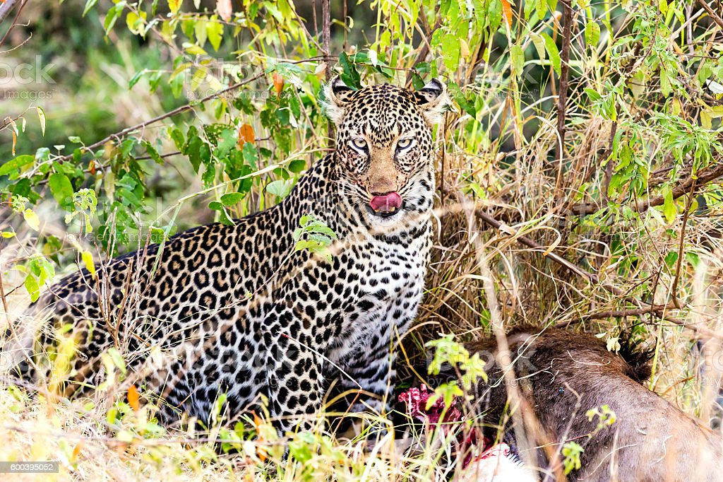 Leopard eating at secret place on the ground - camouflage stock photo