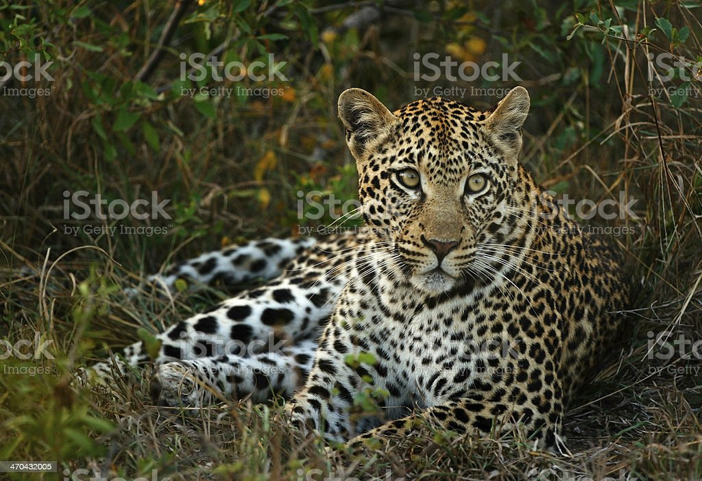 Leopard Female stock photo