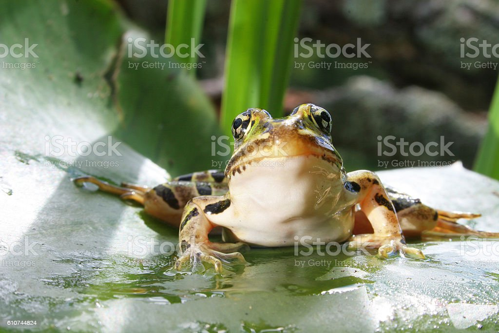 Leopard Frog 113 stock photo