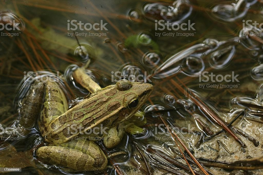 Leopard Frog at Pond Edge stock photo