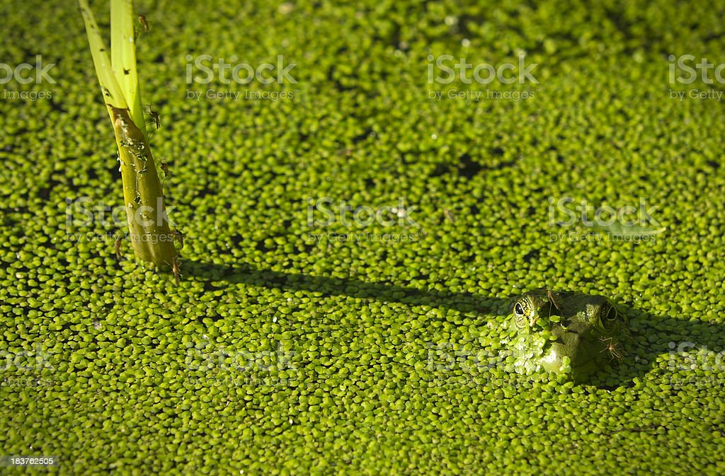Leopard frog in a pond stock photo
