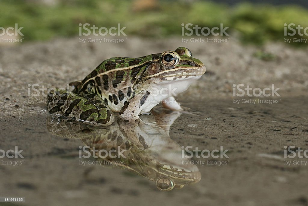 Leopard Frog in Reflection stock photo