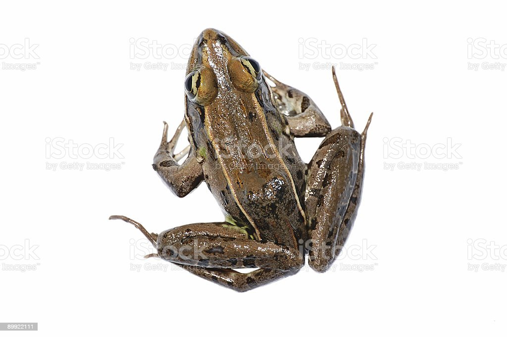 Leopard Frog Isolated On White stock photo