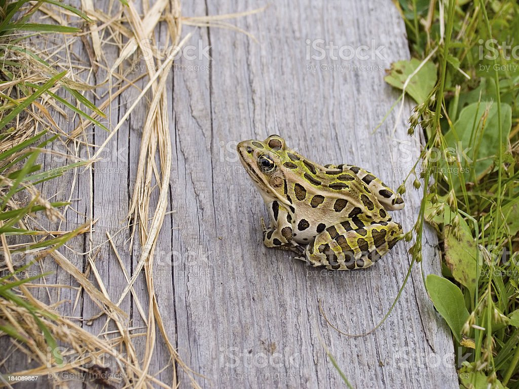 Leopard Frog on Wood stock photo