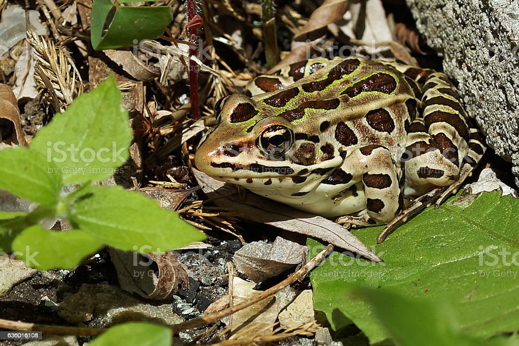 Leopard Frog stock photo