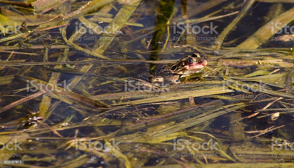 leopard frog profile stock photo
